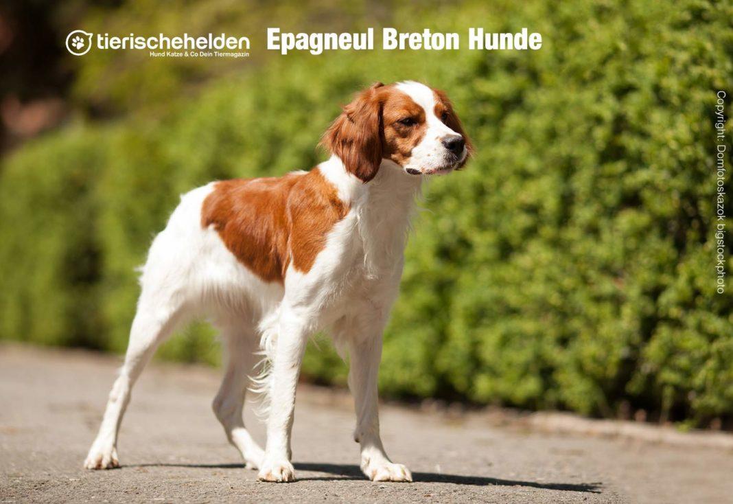 Epagneul Breton Hunde