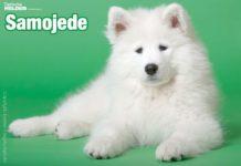 Samojede und sein Charakter: