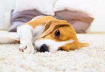 symptome epileptischer Anfall beim Hund