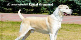 Kangal Hirtenhund