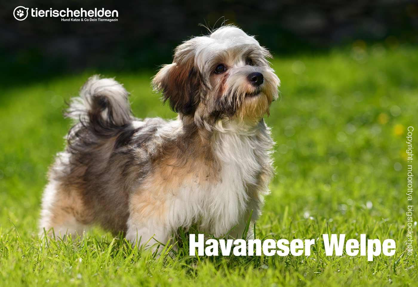 Havaneser Welpe