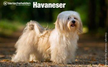 Havaneser Hunde Rasseportrait