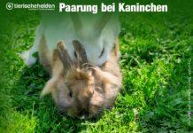 Kaninchen geschlechtsreif
