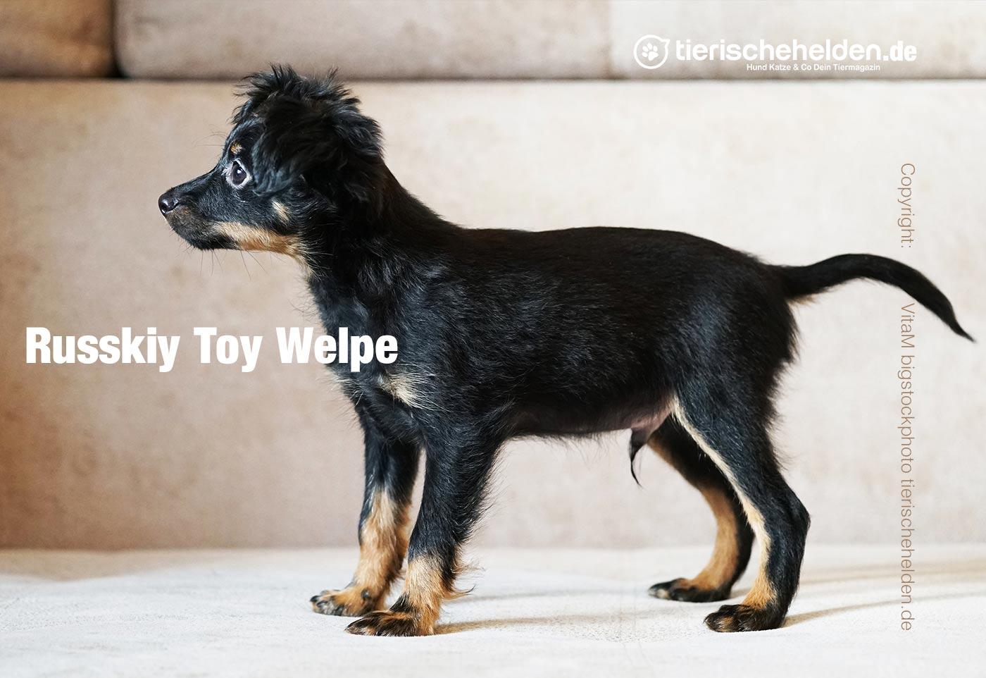 Russkiy Toy Welpe