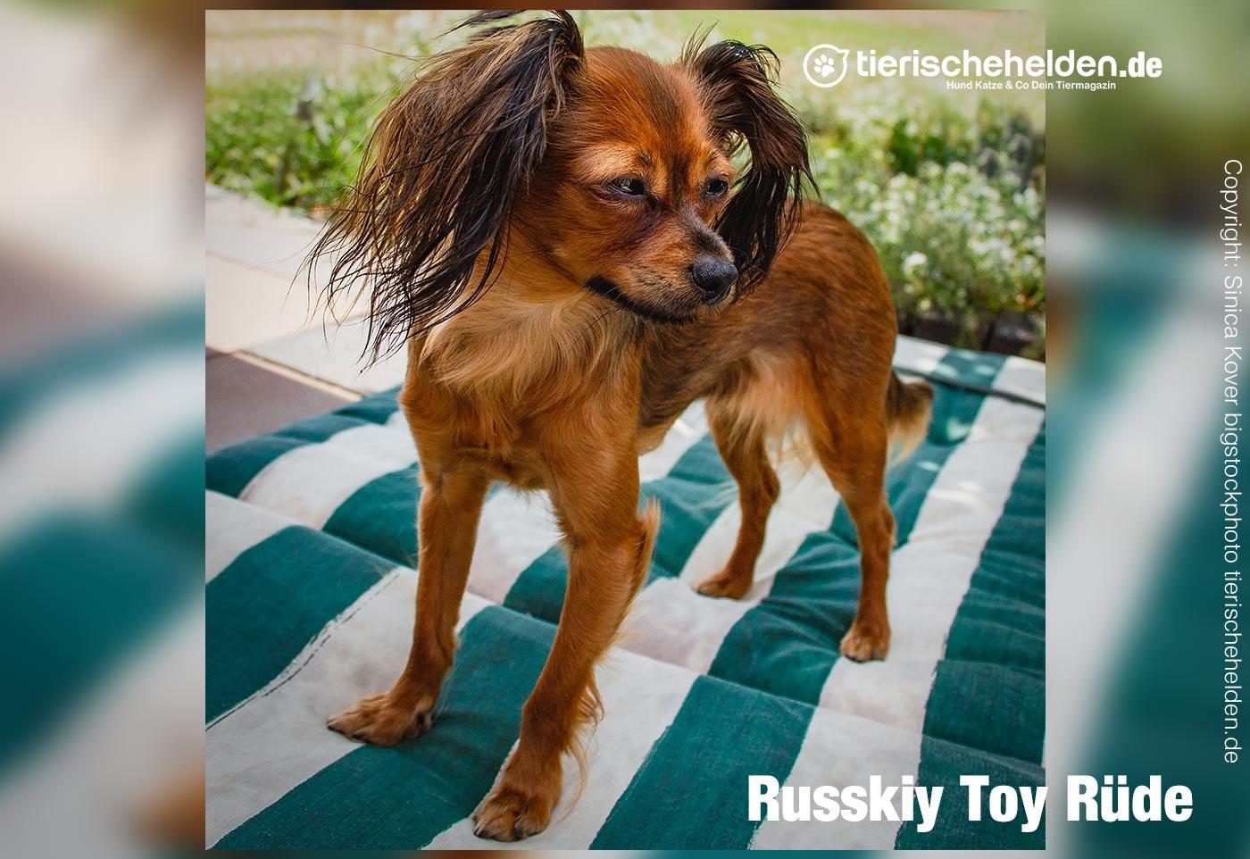 Russkiy Toy Rasse