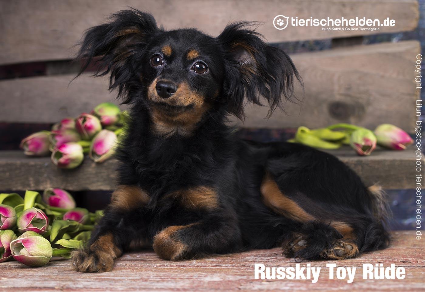 Russkiy Toy Rüde Zucht
