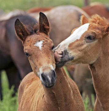 Schilddrüsenunterfunktion beim Pferd