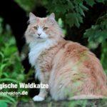 Norwegische Waldkatze Rasse