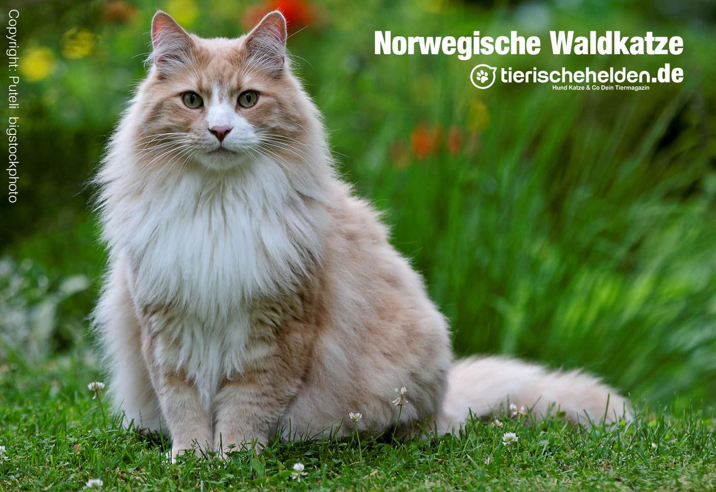 Norwegische Waldkatze Charakter Und Haltung Im Rasseportrait
