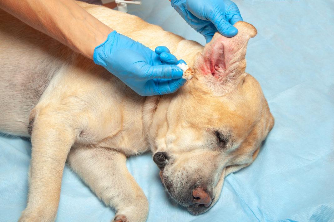 Ohrentropfen für Hunde