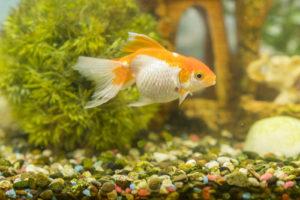 Goldfisch Rassen