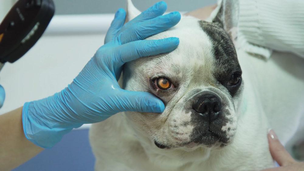 Wurm Im Auge Beim Hund Augenwürmer Symptome Und Behandlung