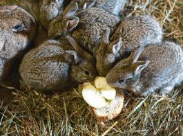 Wie oft sollte man Kaninchen füttern