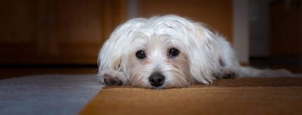 Malteser - Liebe Hunderassen