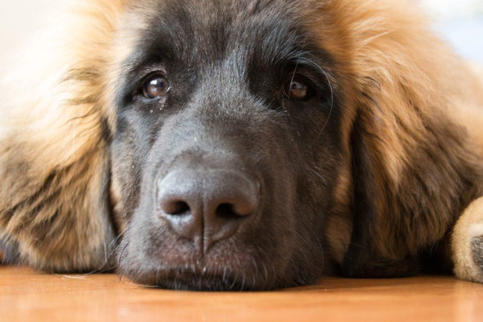 Leonberger - Liebe Hunderassen