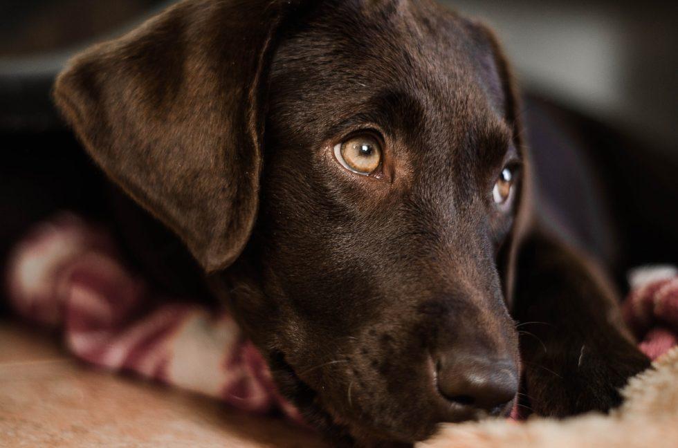 Labrador Retriever - Liebe Hunderassen