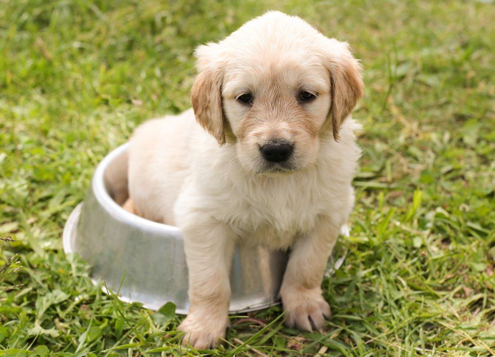 Golden Retriever - Liebe Hunderassen