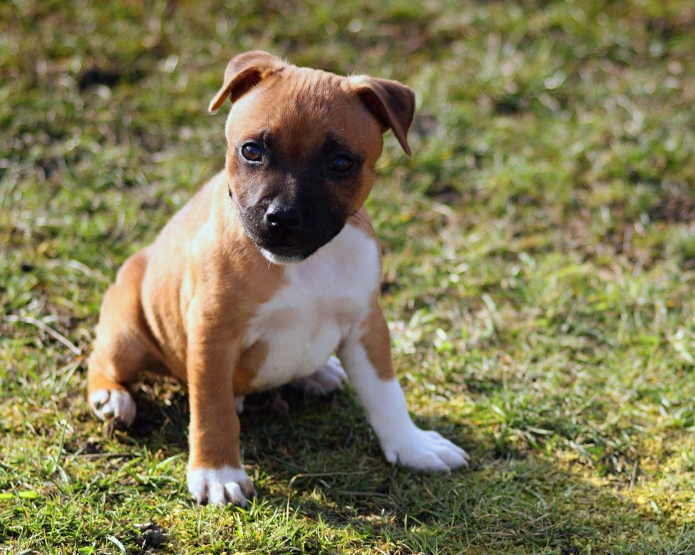 Staffordshire Bullterrier - Liebe Hunderassen