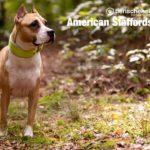 American Staffordshire Rüge im Wald