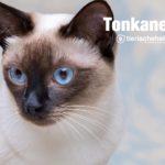 Tonkanesen Katze, Golden Siam Katze