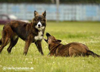 Haltung beim Imponieren des Hundes