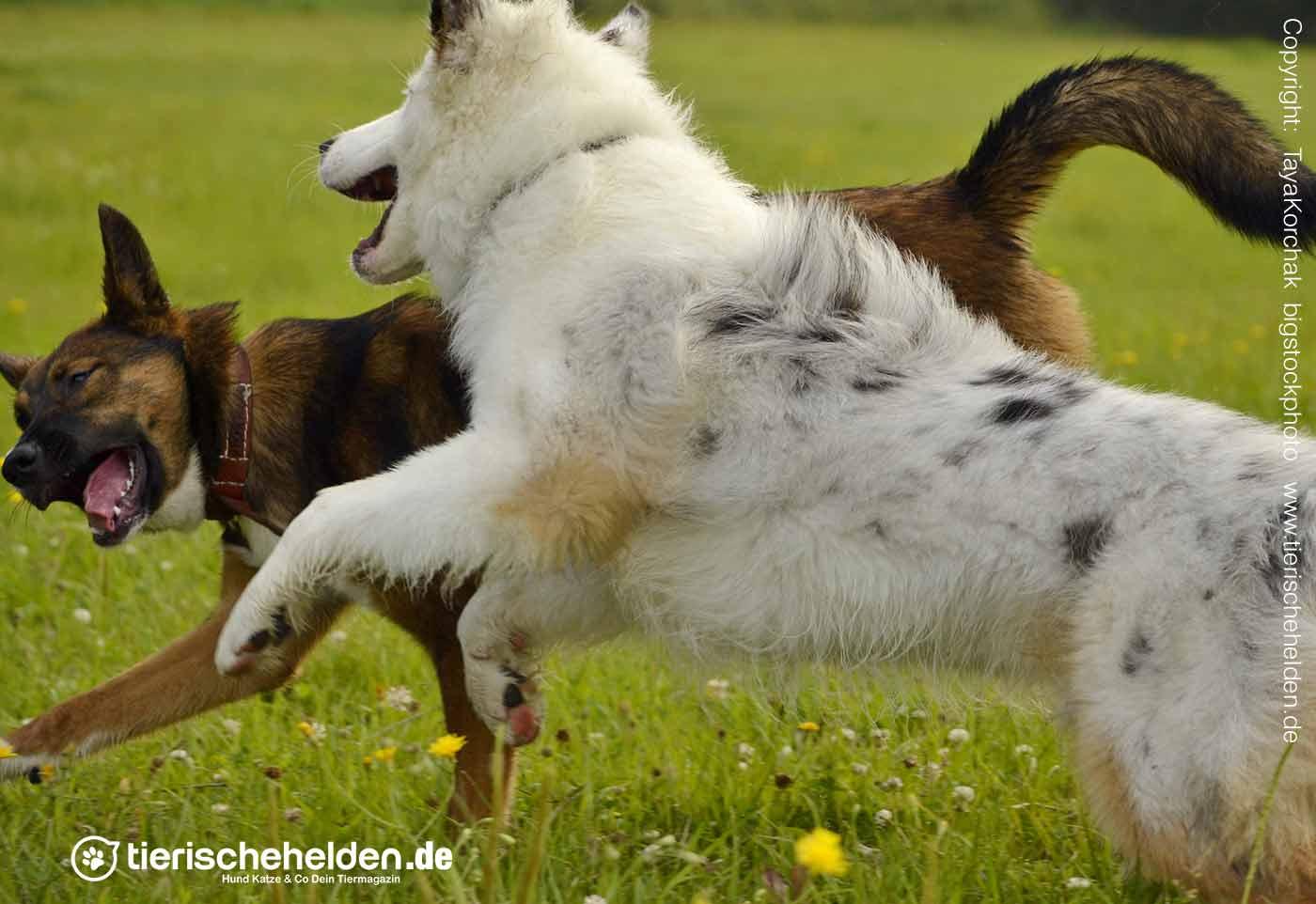 beim Spiel Imponieren des Hundes
