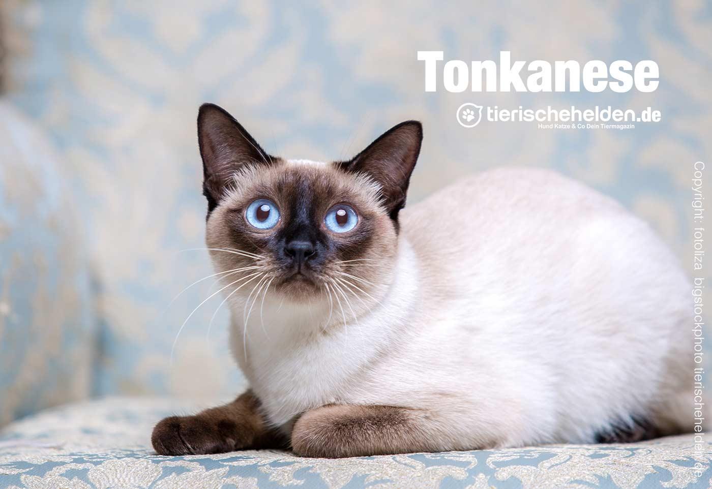 Tonkanesen Katze Rassenbeschreibung