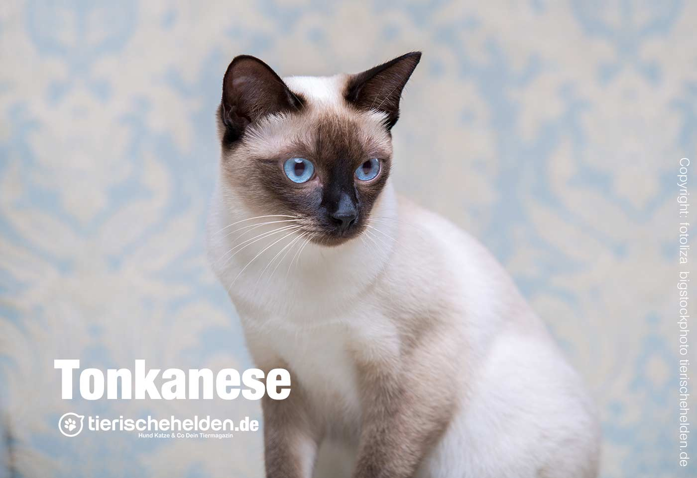 Tonkanesen Katze Rassenbesch