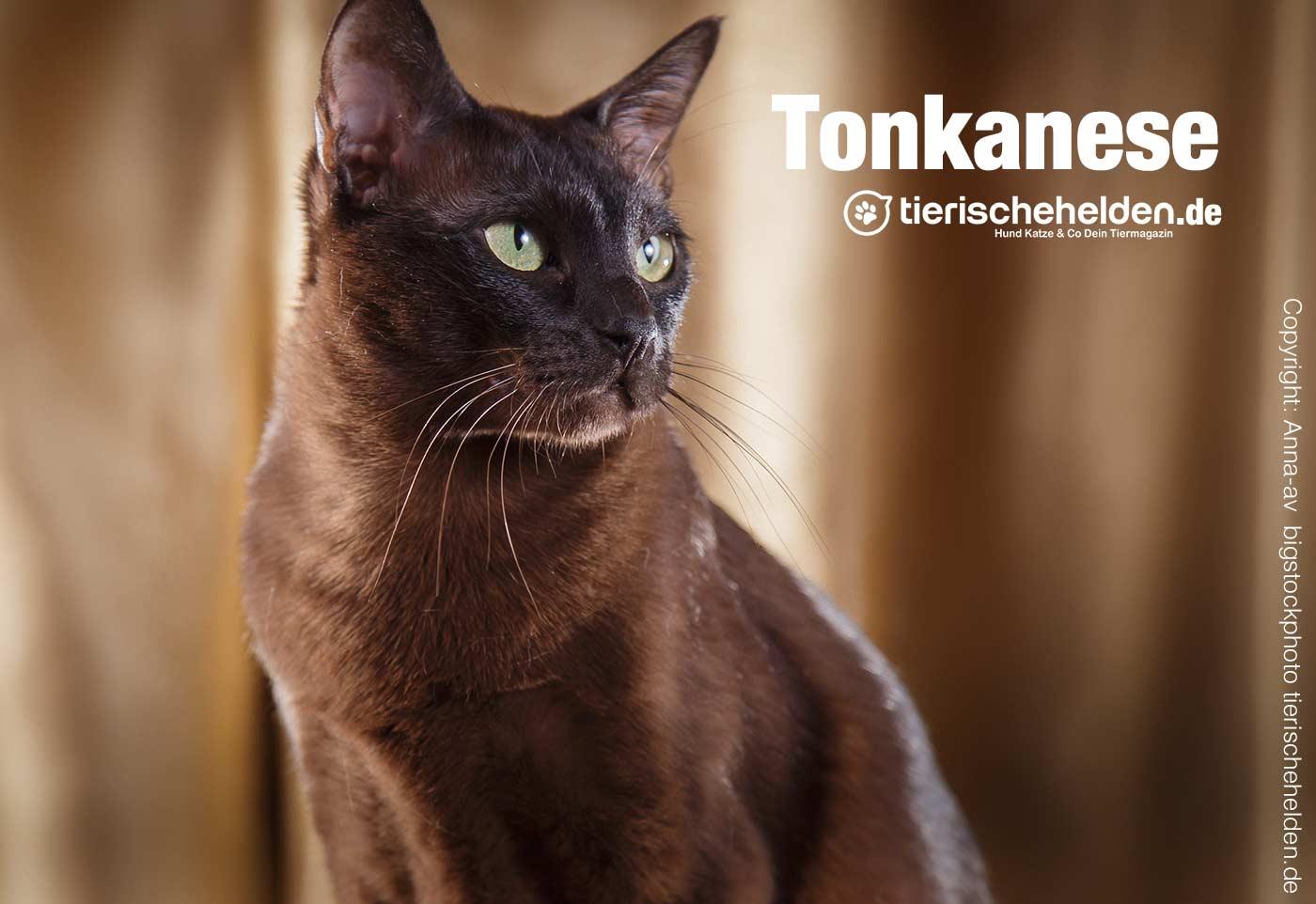 Tonkanese Katze Thailand