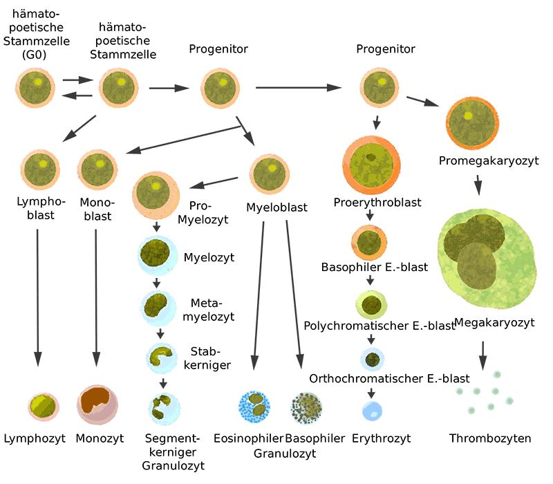 Entstehung der Erythrozyten