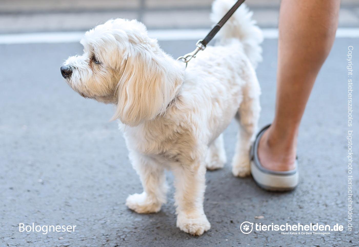 Bologneser Hund