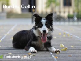 Boder Collie