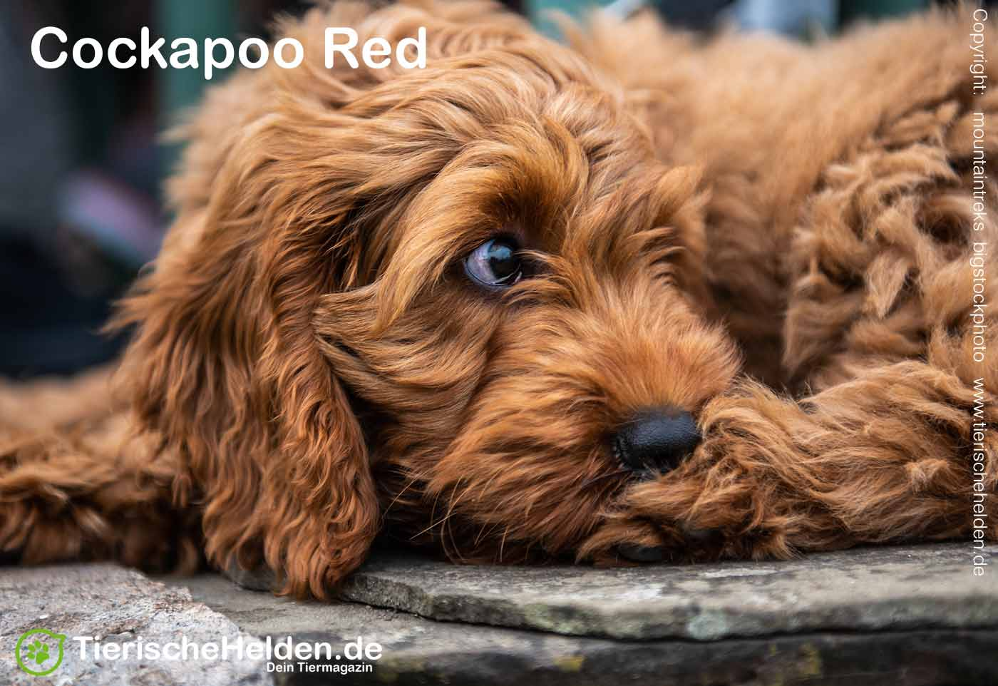 Cockapoo Red