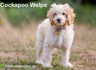 Cockapoo Welpe 4 Monate