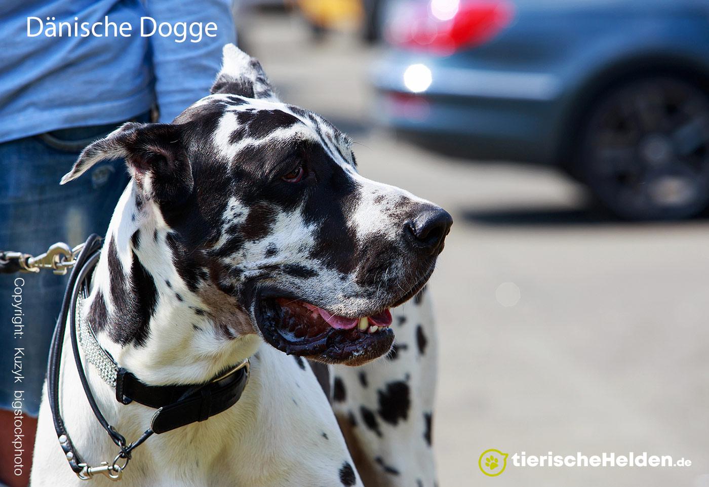 Dänische Dogge – Great Dane