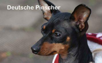 Deutsche Pinscher