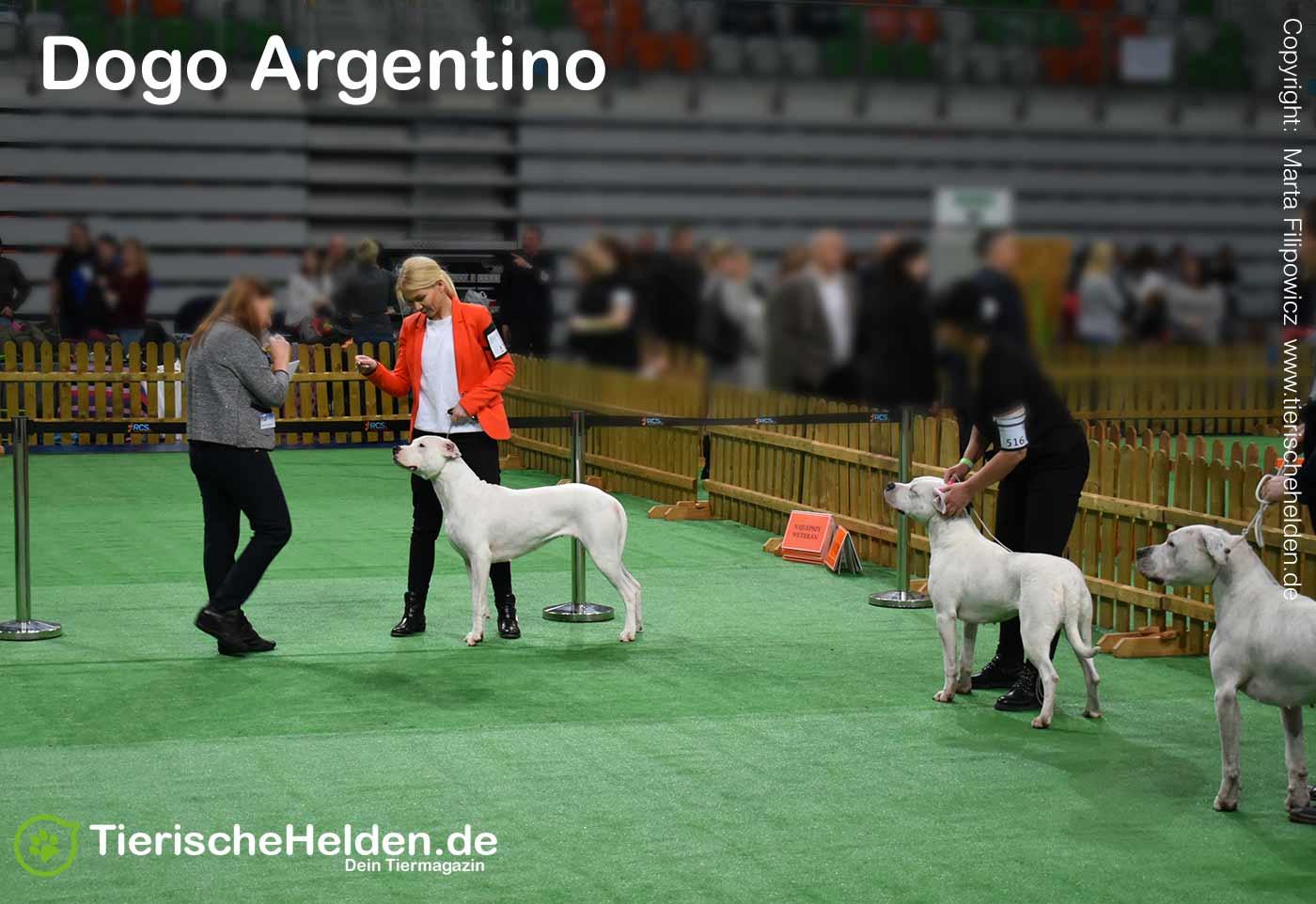 Dogo Argentino Rasse Ausstellung