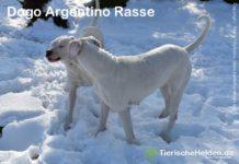 Dogo Argentino Rasse