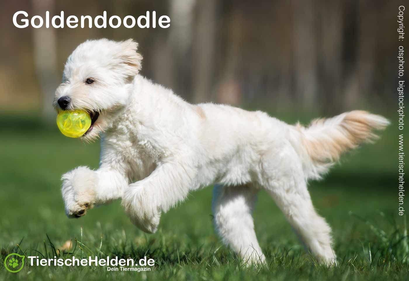 Hunderasse Goldendoodle