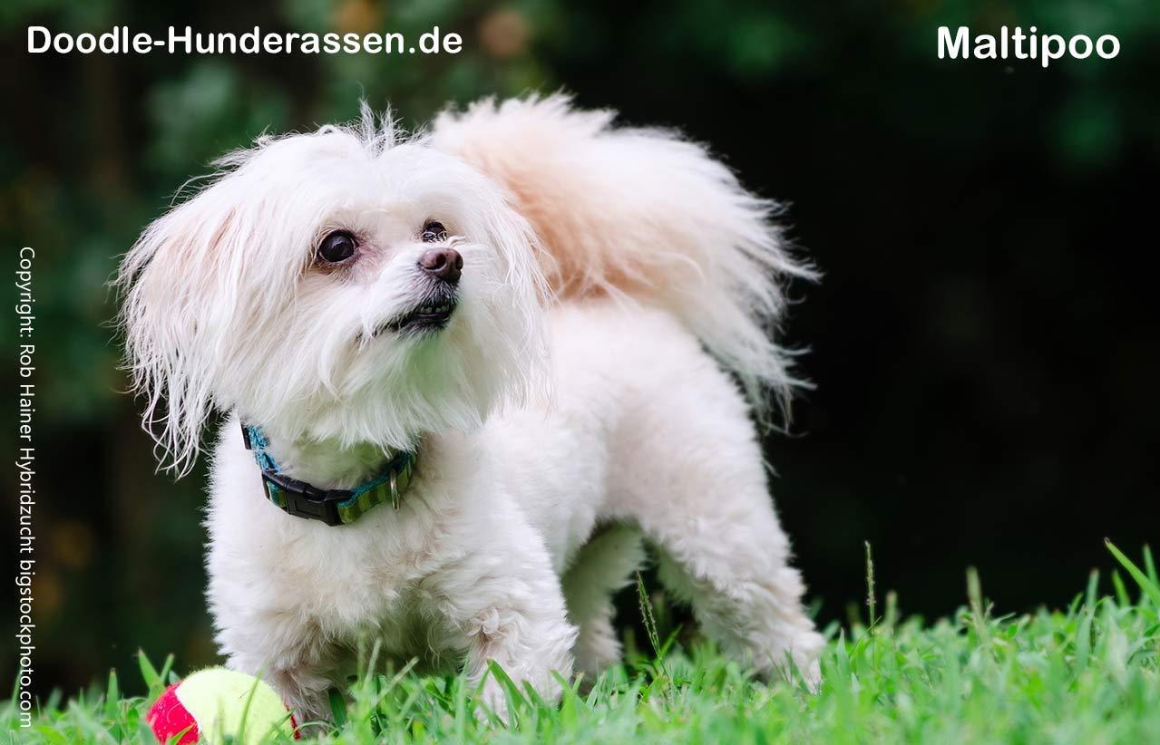 Minihunde Maltipoo