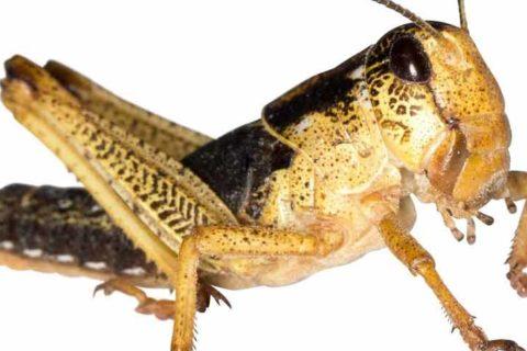 Heuschrecken als Reptilienfutter