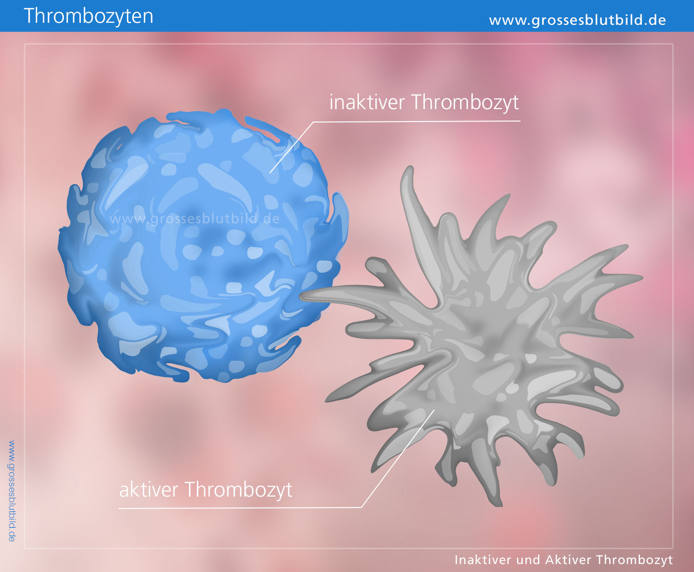 Thrombozyten erhöht