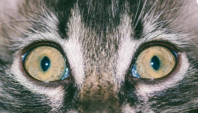 Pupillen der Katze