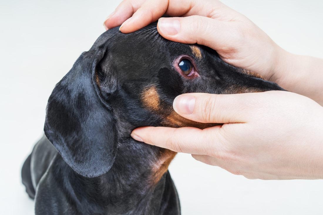 Augenausfluss beim Hund