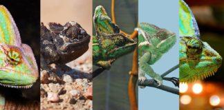 Chamäleon Arten auf einen Blick