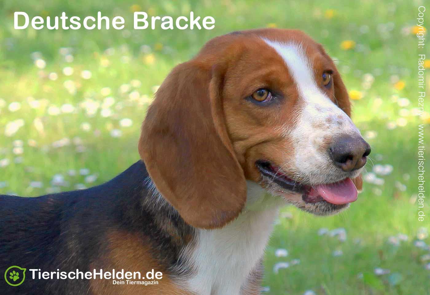 Hunderasse Deutsche Bracke