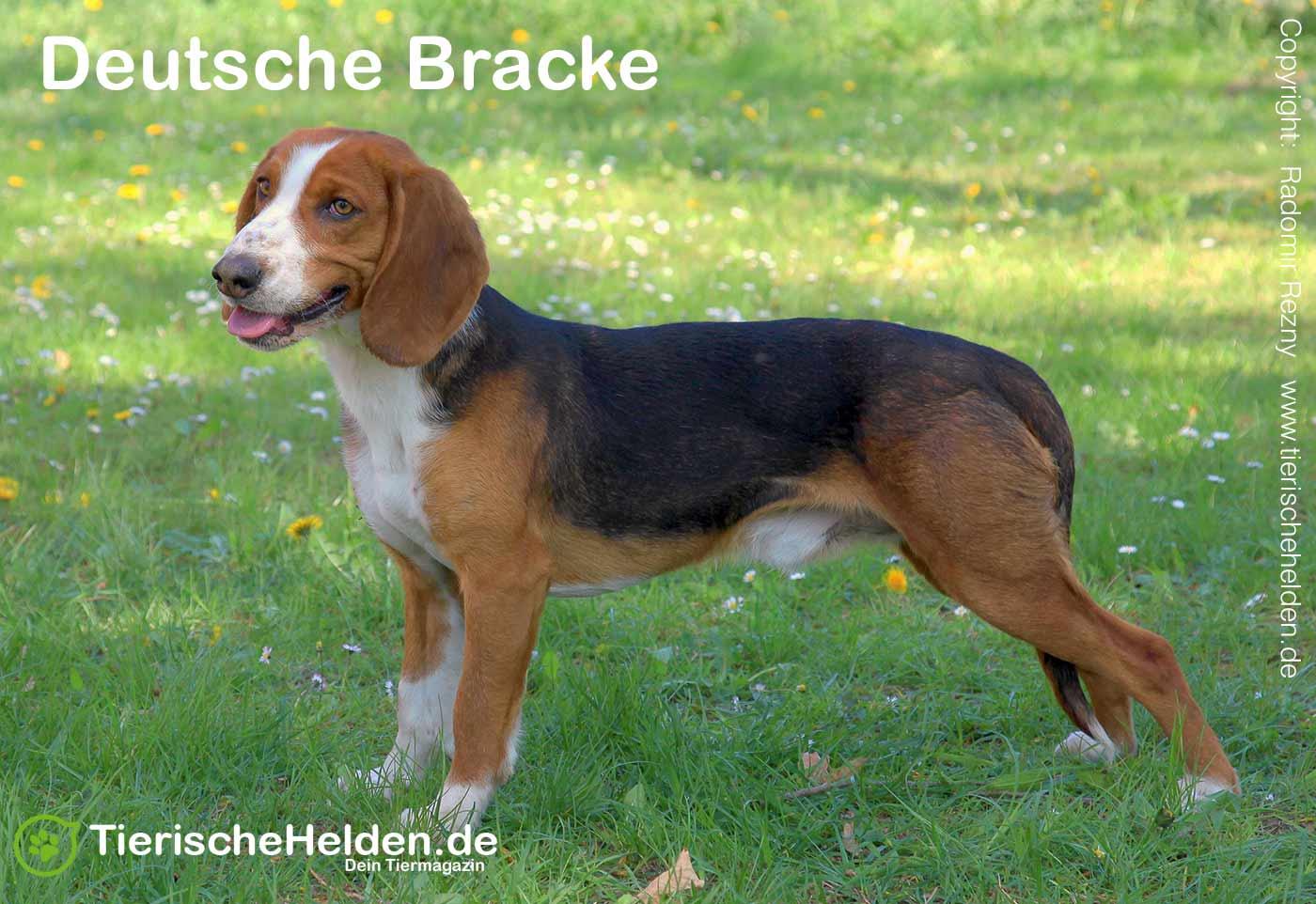 Deutsche Bracke