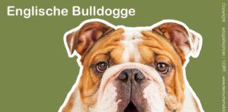Englischen Bulldogge