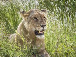 Afrikanisches Löwin
