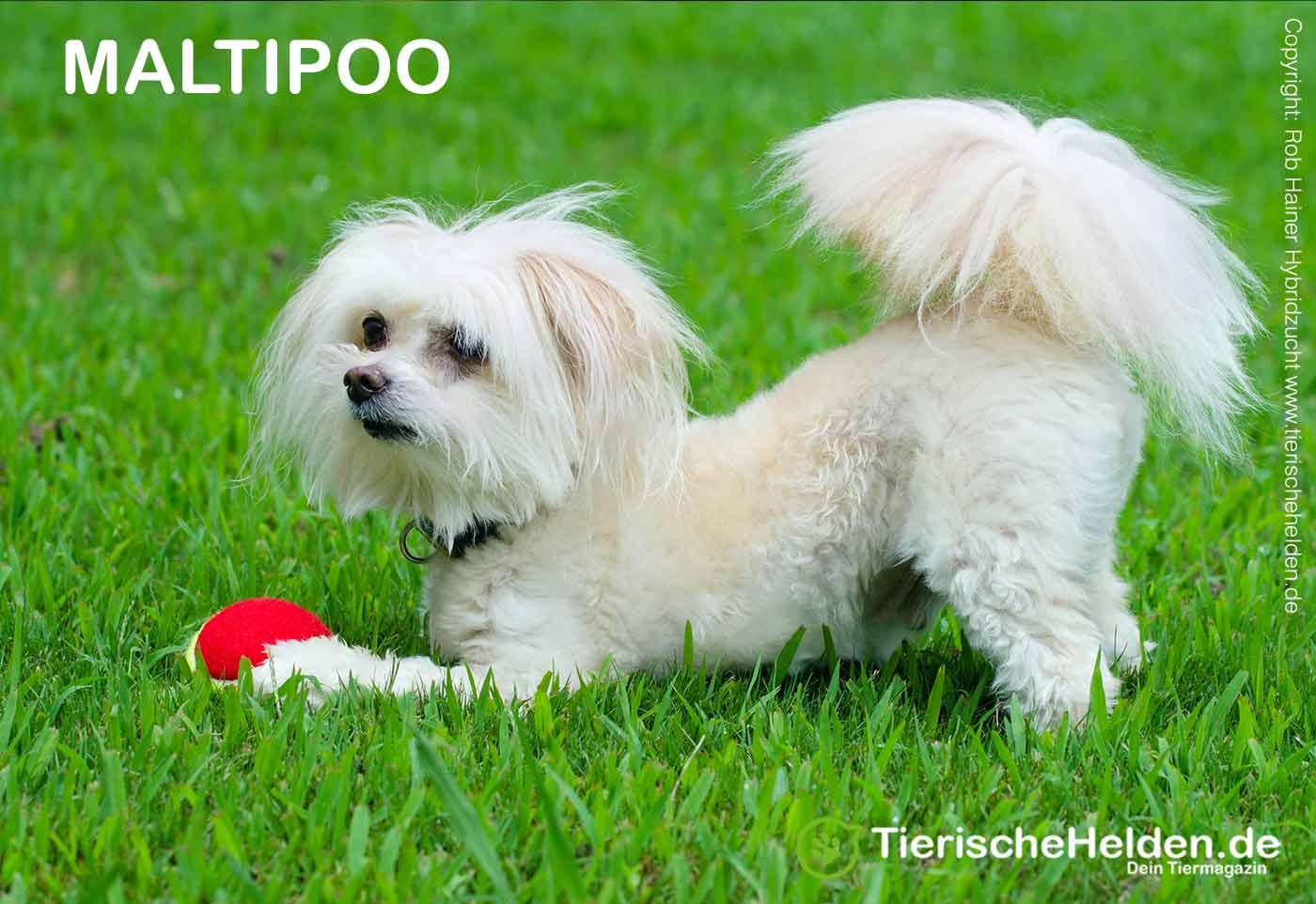 Maltipoo Hund